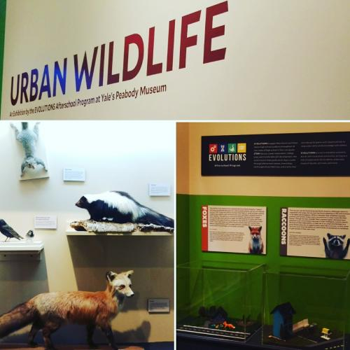 Selected angles of the new Urban Wildlife exhibit at the Peabody.