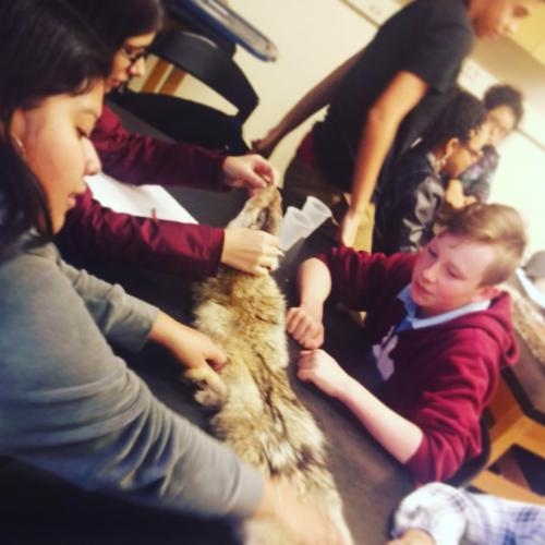 Students examine a coyote pelt and discuss what it tells us about the animal's adaptations.