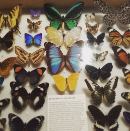 A collection of pinned butterflies and moths.